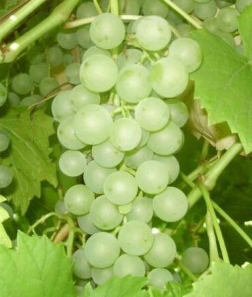 Описание сорта винограда «краса севера»: характеристики, фото, отзывы садоводов
