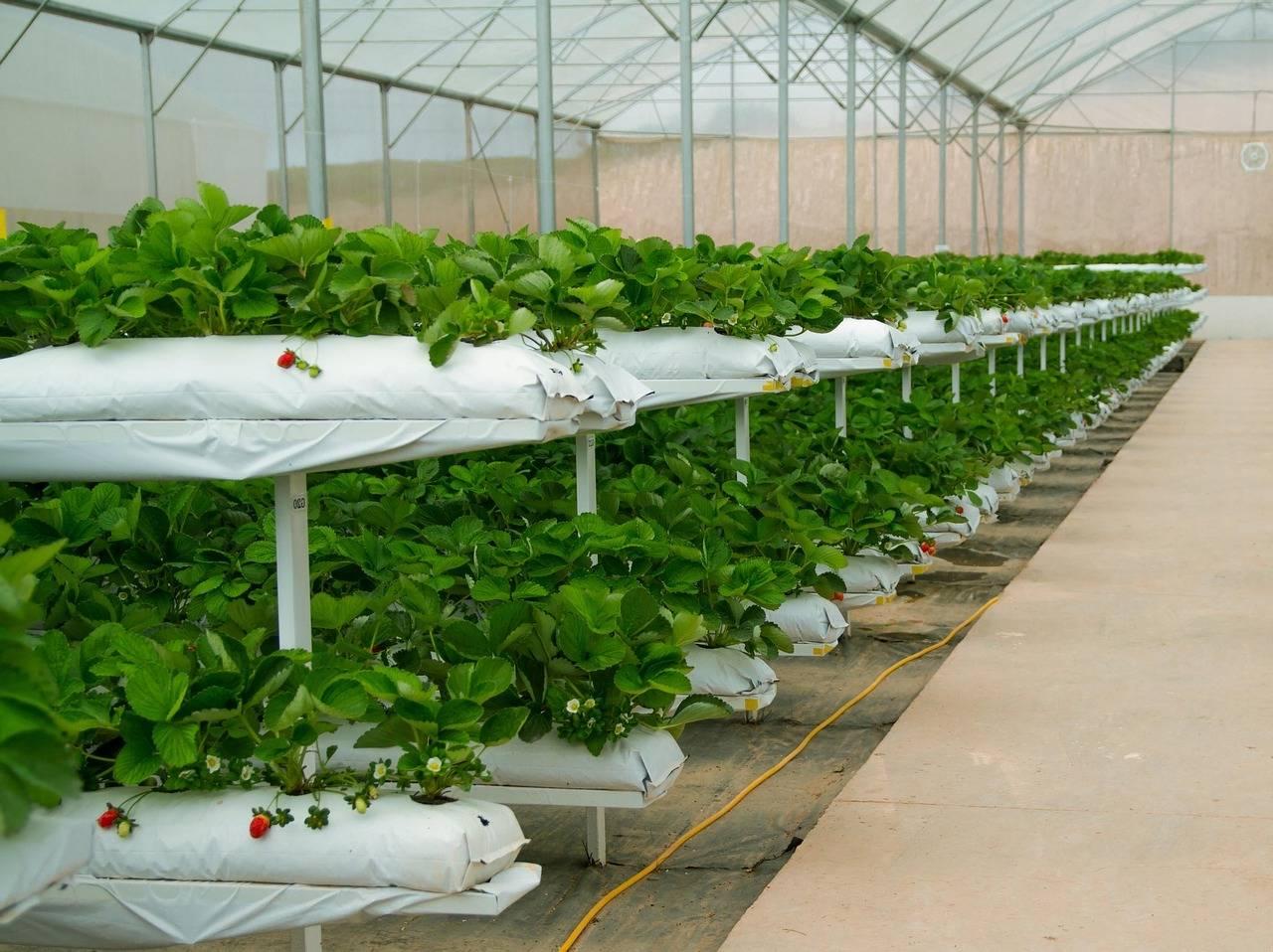 Выращивание клубники в теплицах: подробная инструкция