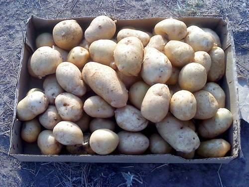 """Картофель """"киранда"""": описание сорта, фото, полезные советы"""