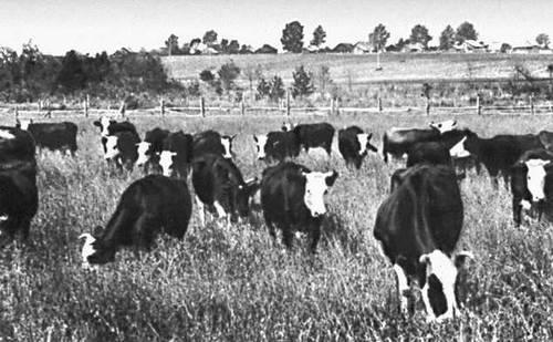 Молочные породы коров: как выбрать буренок этого направления в россии, какие самые лучшие, и описание и фото высокоудойных, мясо-молочных видов