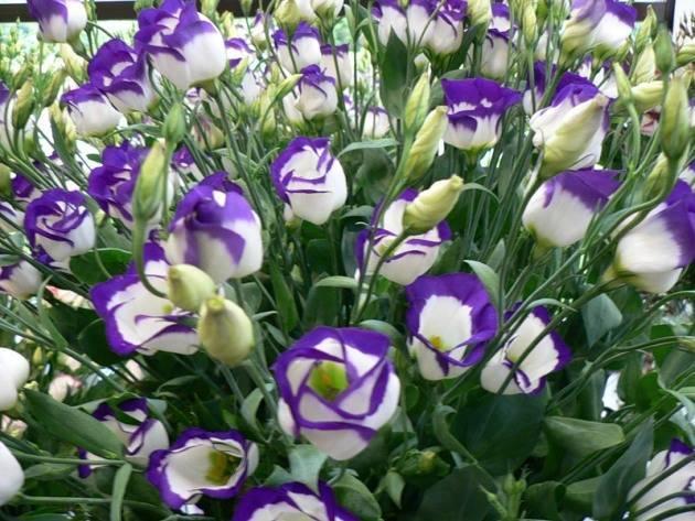 Выращивание и уход за эустомой в домашних условиях (60 фото): как вырастить эустому из семян в горшке? посадка комнатного цветка. как выращивать многолетнюю эустому на рассаду дома?