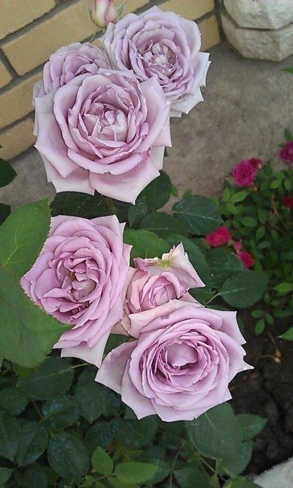 Роза индиголетта (видео)