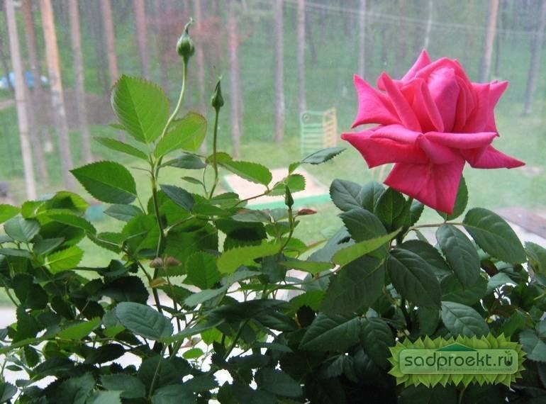 Причины, по которым может не цвести плетистая роза