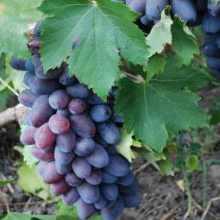 Виноград байконур – подробные характеристики и техника выращивания