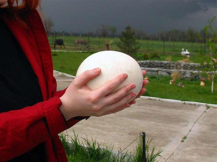 Страусиное яйцо: вес, особенности, как несутся птицы