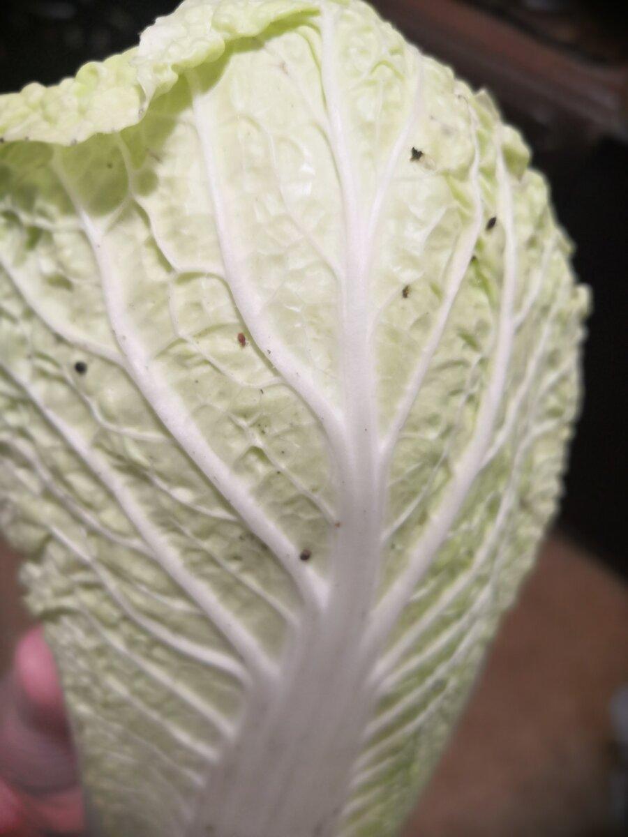 Черные точки на китайской капусте можно ли есть