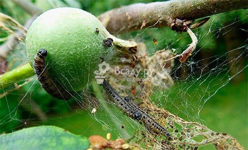 Как бороться с вредителями на яблоне, ловчие пояса для яблонь своими руками