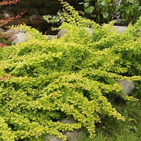 Барбарис: описание популярных сортов и основы ухода за растением