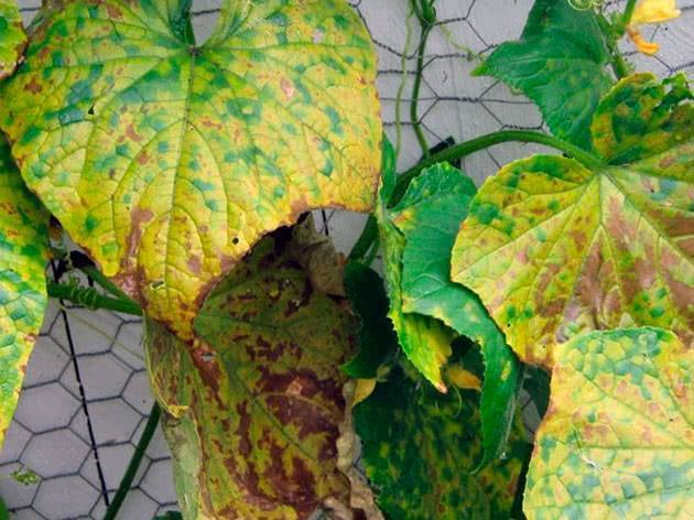 Почему у огурцов желтеют и сохнут листья и что с этим делать?