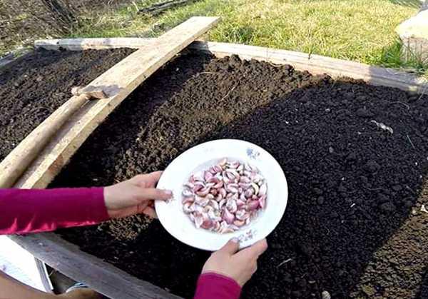 Выращиваем яровой чеснок в открытом грунте: правила посадки и ухода