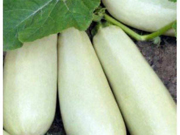 Выращивание кабачков на даче: лучшие сорта, посадка и уход, удобрение, борьба с болезнями и вредителями