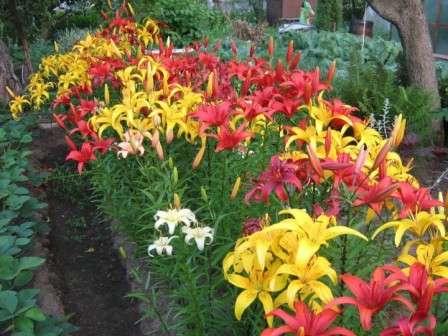 О посадке лилий на участке: как сажать красиво, чтобы смотрелись и с чем можно