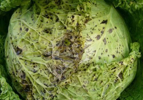 Чем обработать пекинскую капусту от вредителей: препараты, народные средства, правила ухода за культурой