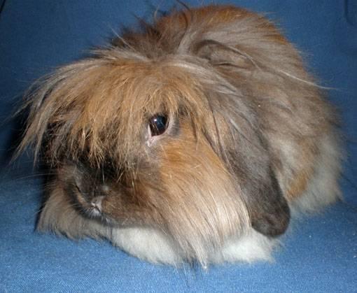 Кролик карликовый баран: описание породы, уход и содержание