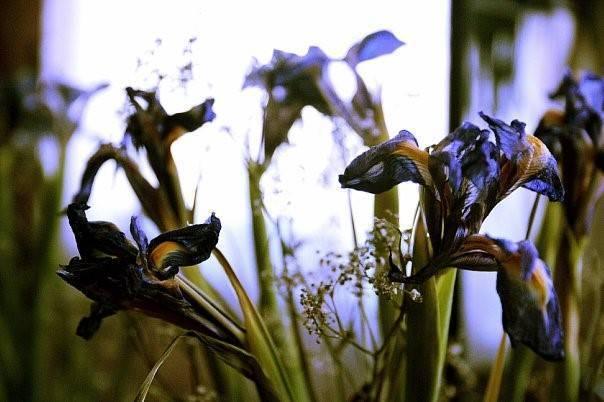 Когда и как пересаживать ирисы весной