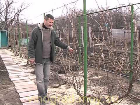 Формировка винограда с первого года и последующие года