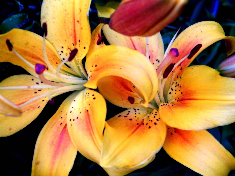 Как выбрать лилии и не разочароваться