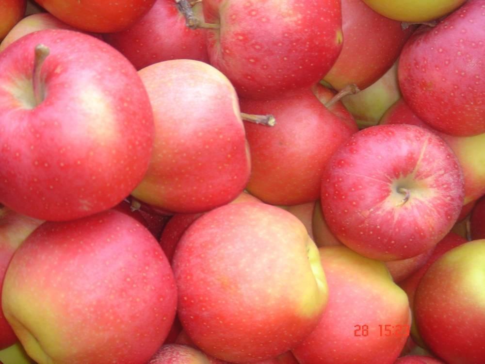 Один из лучших сортов в мире — яблони гала