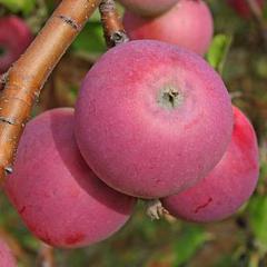 Описание и особенности сорта яблок энтерпрайз