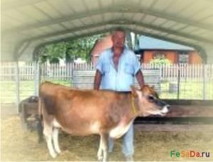 Коровы карликовых пород в белоруссии. мини-коровы