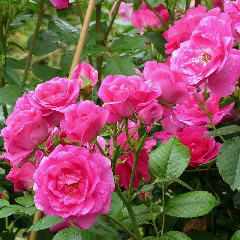 Роза гротендорст