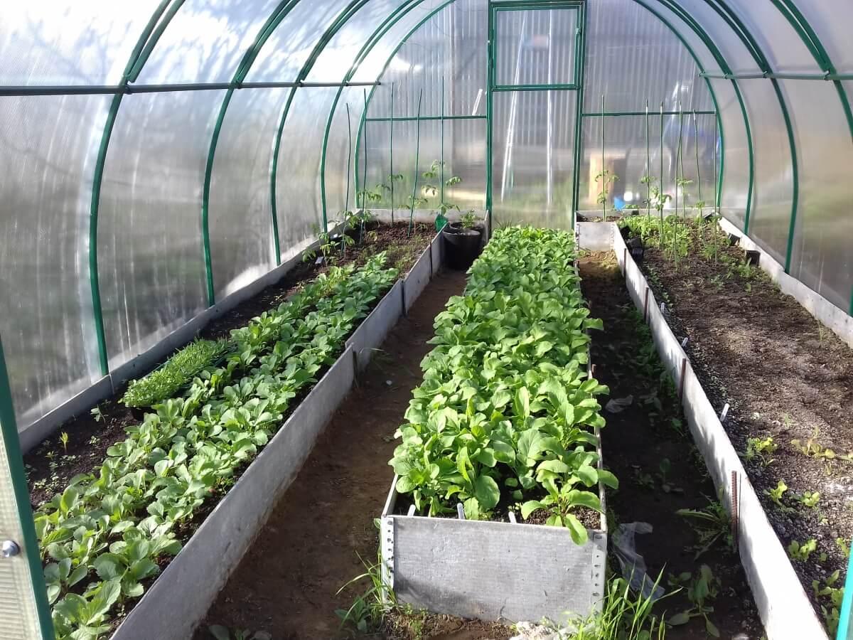 Выращивание редиса в теплице зимой на продажу - подробная инструкция!