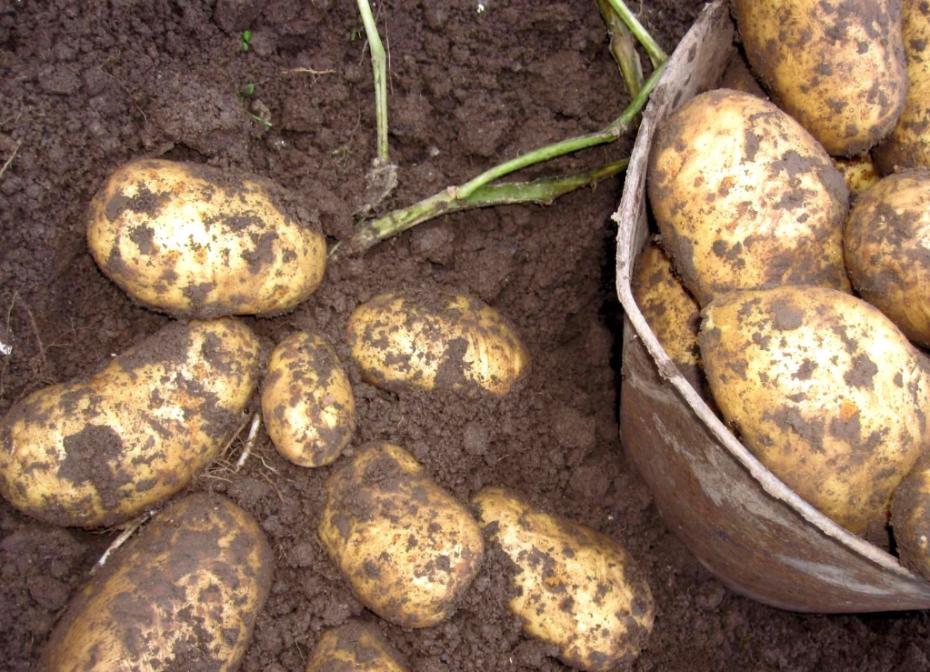Картошка ранняя сорта сорокодневка — в чем её особенности?