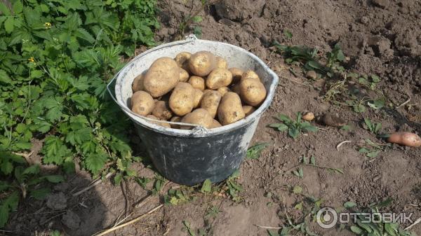 Картофель лабадия: характеристика сорта, выращивание и ухода за посадками