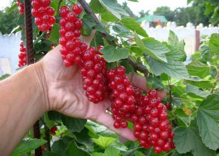 Красная смородина натали - эталон урожайности