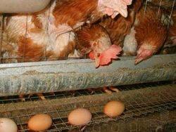 Почему куры едят свои яйца что делать - 5 советов, которые помогут избавиться от проблемы!