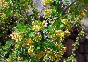 Смородина золотистая: описание, выращивание