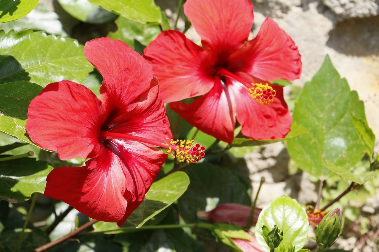 Цветок гибискус - полезные свойства чая и противопоказания