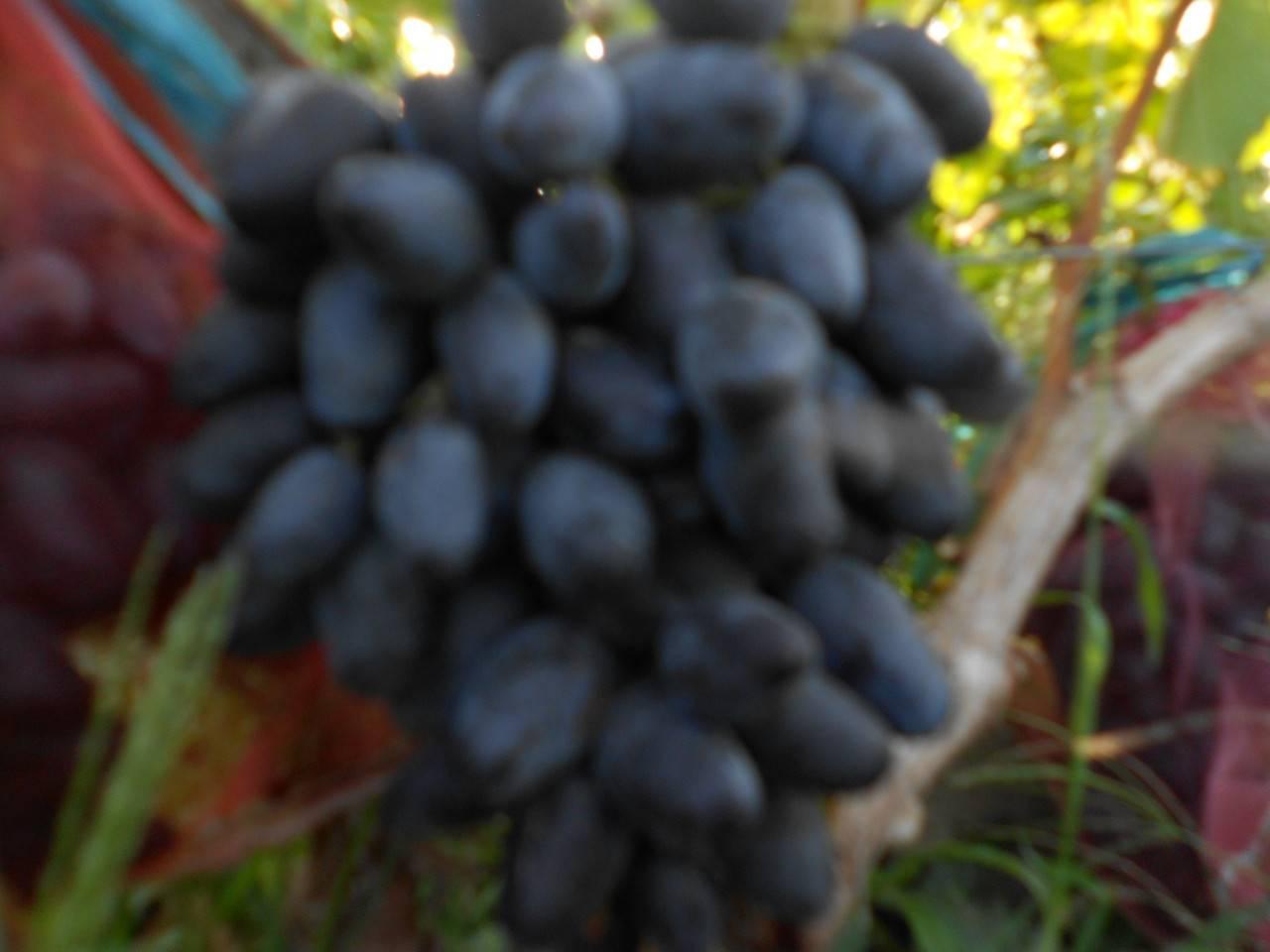 Описание винограда сорта мукузани, правила посадки и ухода