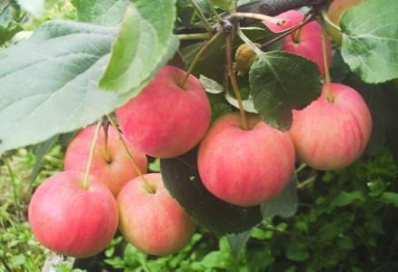 Яблоня горнист: описание сорта и фото, подробные характеристики