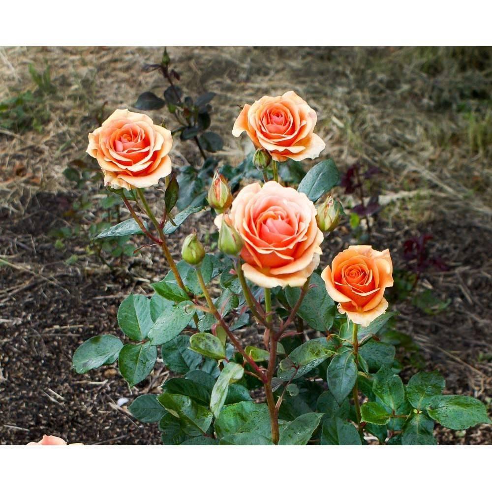 О розе Ашрам (Ashram): описание и характеристики чайно гибридной розы