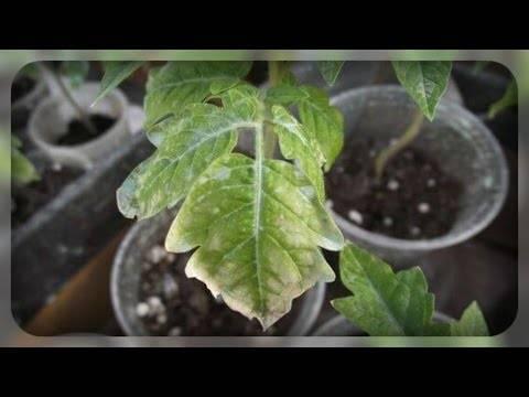 Сохнут листья в рассаде баклажан