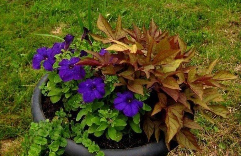 Как посадить и вырастить ипомею батат — правила ухода