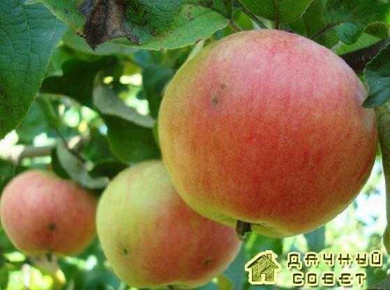 Лучшие сорта яблонь для ленинградской области