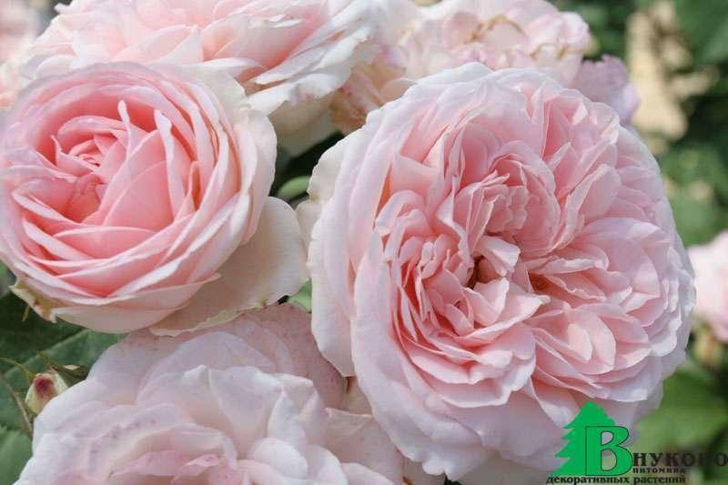 Роза изабель ренессанс описание. описание: розы isabelle renaissance