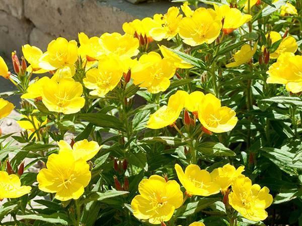 Желтые многолетние и однолетние цветы для клумбы
