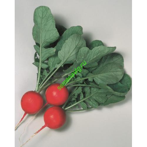 Выращивание редиса в открытом грунте: сроки посадки, правила посева и ухода за редиской | топ огород