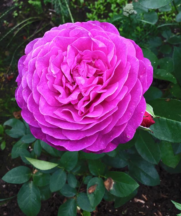 Роза хайди клум (heidi klum)