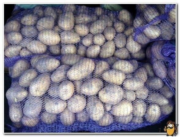 Описание отечественного сорта картофеля «метеор»: характеристика и фото