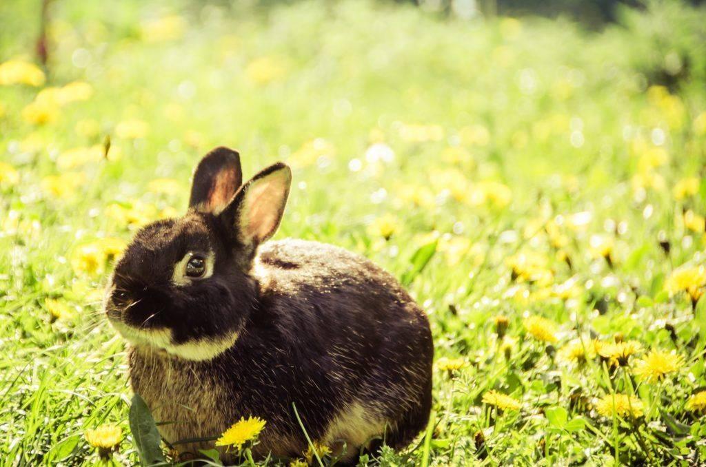 У кроликов отказывают задние ноги лечение