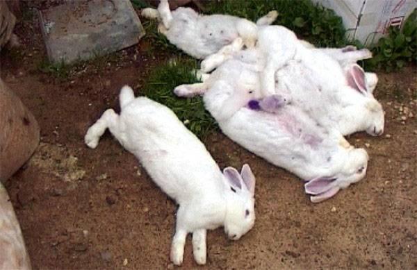 Кожные заболевания у кроликов и их лечение