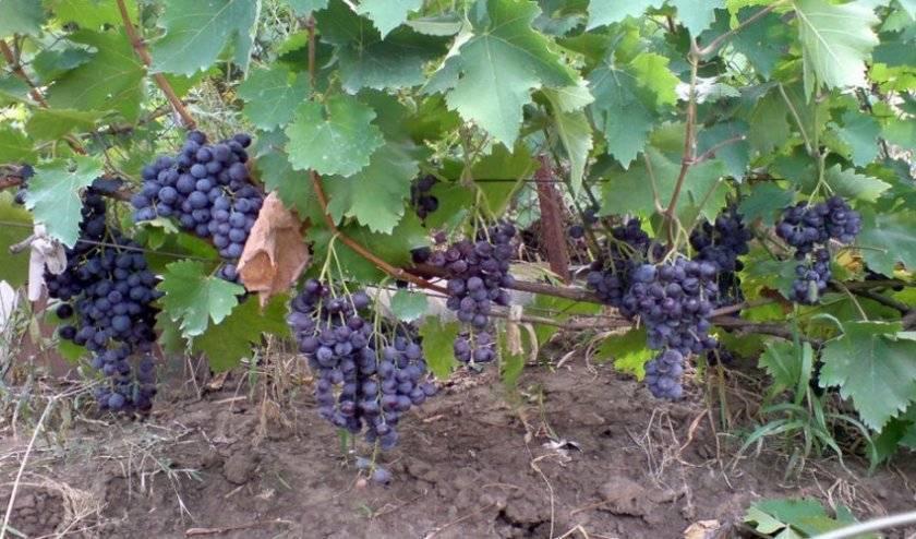 Виноград мускат летний: описание сорта, фото, особенности и характеристики, история селекции и борьба с вредителями