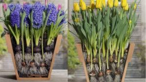 Нежный цветок весны крокус: подробности ухода и выращивания