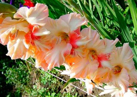 Болезни гладиолусов! - запись пользователя оксана (piyavka75) в сообществе сад, огород в категории виды заболеваний растительности и их обработка, лечение. - babyblog.ru