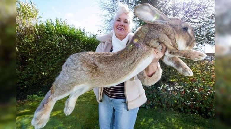 16 самых больших кроликов в мире