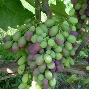 Описание сорта винограда «космонавт»
